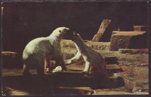 Polar Bears,Brookfield Zoo,IL Postcard BIN