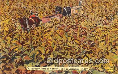Tobacco Field At Harvest Time Dixieland Postcards Post Cards Old Vintage Anti