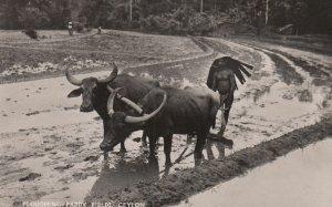 RP: Ploughing Paddy Fields , CEYLON , 1930s