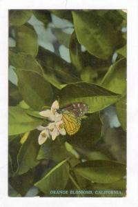 butterfly on Orange blossums, California, 00-10s