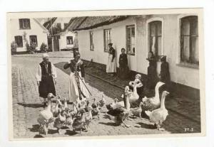 Pack of Geese on City Street / Gaseflokken pa Vej Hjem,Denmark 1900-10s