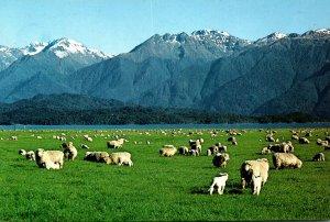 New Zealand Lake Te Anau Sheep Farming Scene