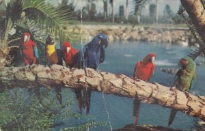 TAMPA, Florida, PU-1972; Trained Parrots, Busch Gardens