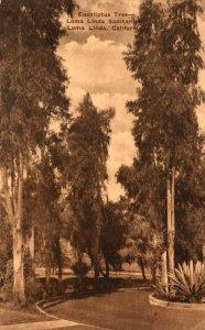California Loma Linda Sanitarium Eucaliptus Trees