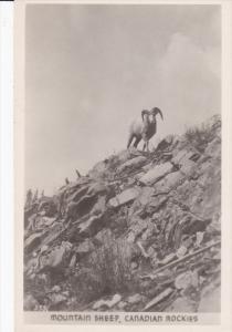 RP: Mountain Sheep , Canadian Rockies , 20-30s