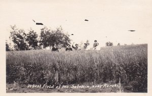 RP; KUROKI, Saskatchewan, Canada, Wheat Field of Mr. Salenkin, 1910s