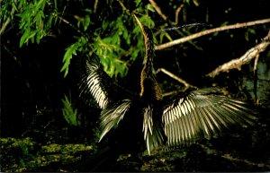 Birds Anhinga Everglades National Park Florida