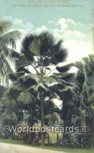 Panama Panama Fan Palm, Ancient Hosptial Grounds
