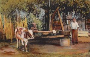 India Torchio Birmano Da Olio Ox Grinding Olive Oil