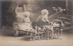 RP; Dog Chariot Racers , 1907 ; THE RACE