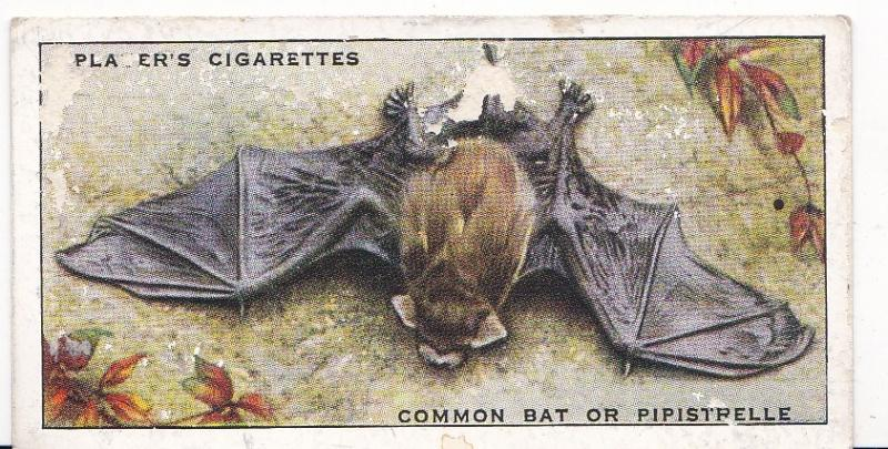 Cigarette Card Player's Animals of the Countryside No 8 Common Bat