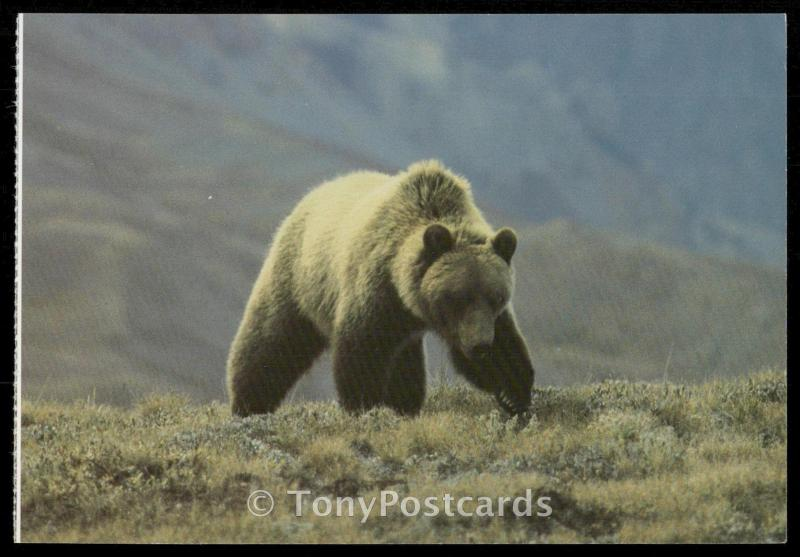 Grizzly Bear  - Banff National Park