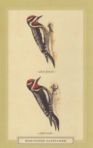 Red Naped Sapsucker Adult Male Female Bird Stunning Postcard