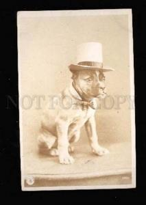005325 Puppy of BOXER in TOP HAT Vintage PHOTO NPG 1905