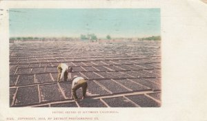 SOUTHERN CALIFORNIA, 1901-07; Drying Prunes