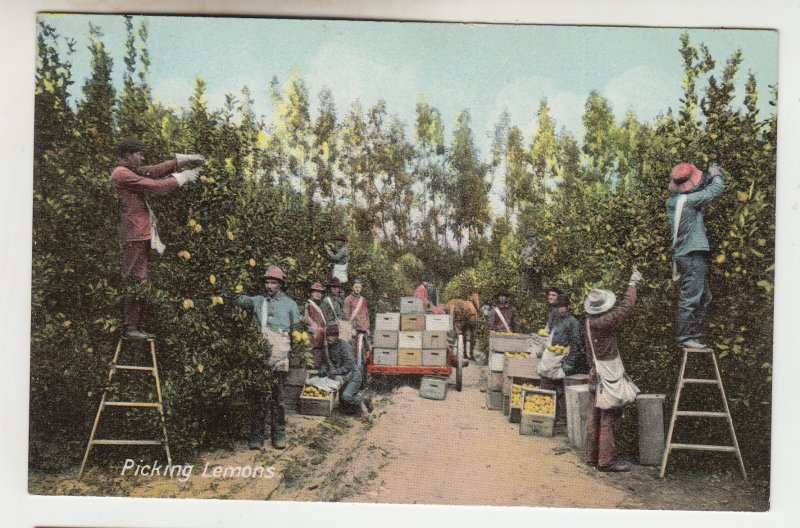 P2181 old postcard multiple workers picking lemons horse and wagon