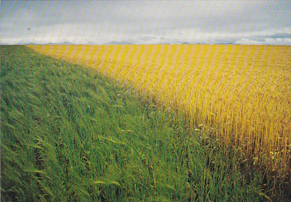 Canada Canadian Wheat Fields British Columbia