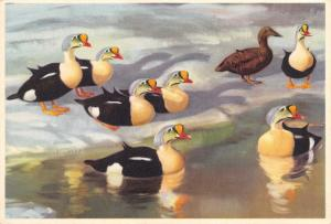 Postcard Art King Eiders on Ice from a Picture by Peter Scott #E