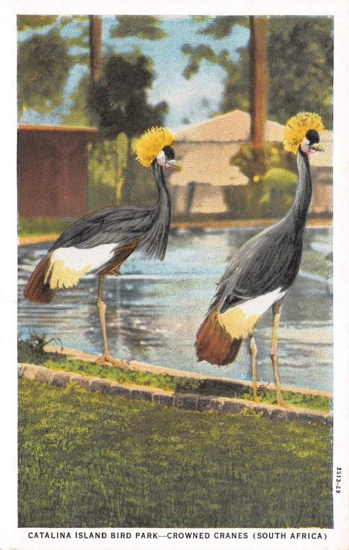 Catalina Island CA Bird Sanctuary~Crowned Cranes of South Africa by Pool~1929