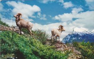 Rocky Mountain Big Horn Sheep Canada