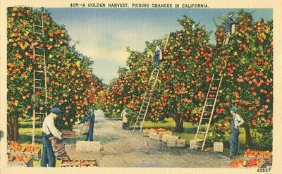 A Golden Harvest, Picking Oranges in California 1940 used...