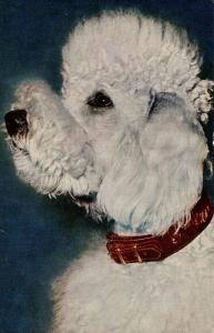 Dog -  Poodle (White)