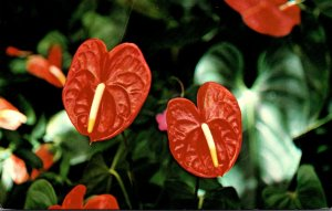 Hawaii Flowers Red Anthurium 1989