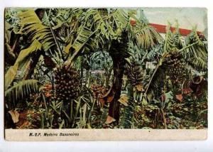 126898 MADEIRA Bananeiras Banana Vintage postcard