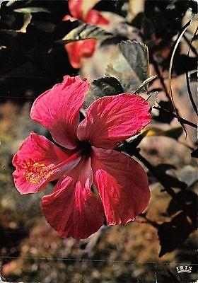 BF454 flower hibiscus  caribbean