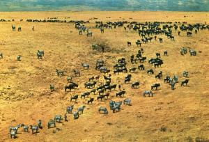 Africa - Ngorongoro Crater. Zebra and Wildebeeste Herds
