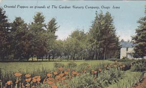 Oriental Poppies on Grounds of the Gardner Nursery Company, Osage, Iowa, 00-10's
