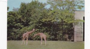 Giraffes, Brookfield Zoo, Chicago, Illinois,   40-60s