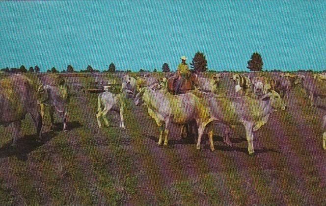 Florida Clewiston Sugarland Ranch Purebred Registered Brahma Cattle Breeding