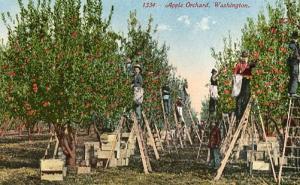 WA - Apple Orchard