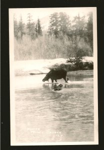Canada Moose in Lake Prince George BC Black & White Real Photo Postcard Unposted