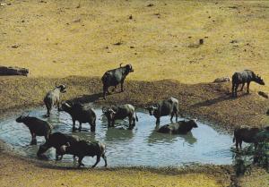Wildlife of East Africa , Buffalos , 50-70s