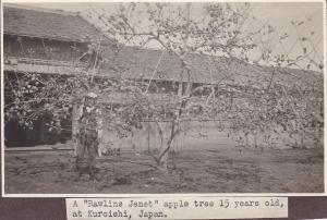 Photo ; KUROISHI , Japan , 00-10s ; A Rawlins Jenet apple tree 15 years old