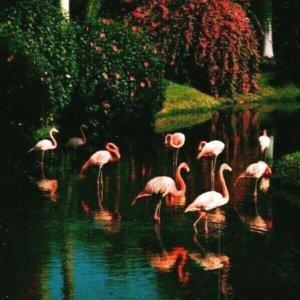 Vtg Chrome Postcard Sarasota Florida FL Jungle Gardens Flamingos Unused UNP