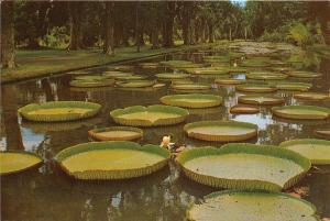BG21183 mauritius water lily pamplomousses garden