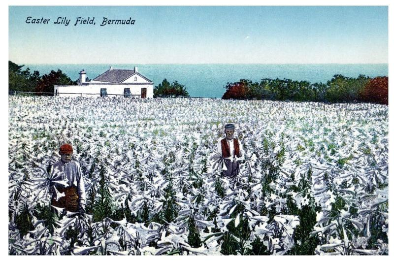 Easter Lily Field, Bermuda # 13 The Herrington Co. c11