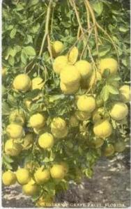 A Cluster Of Grape Fruit, Florida, 1900-1910s