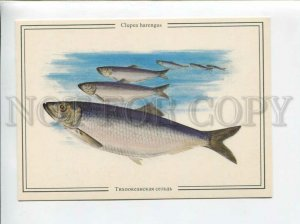 d3096036 FISH Clupea Harengus PACIFIC HERRING old Russian Card