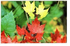 Maple Leaf, Emblem of Canada, Autumn