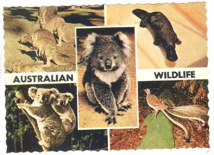 Koalas, Kangaroos, the unique Platypus and Lyrebird, Australian Wildlife, Aus...