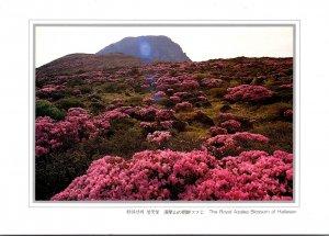 South Korea Hallasan The Royal Azalea blossom