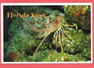 Florida Keys - Florida Spiny Lobster - 2004