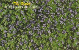 Violet State Flower of Illinois
