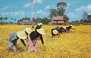 Thailand Farmers Harvesting Rice On The Rice Fields