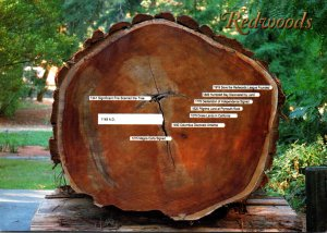 California Redwood National & State Parks Avenue Of The Giants Cross Section ...