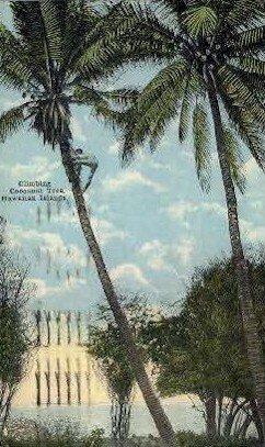 Climbing a Cocoanut Tree - Hawaiian Islands , Hawaii HI